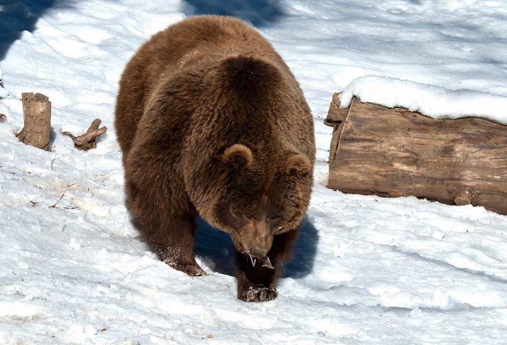 Los osos han despertado en Lacuniacha, tras un mes y medio de letargo.