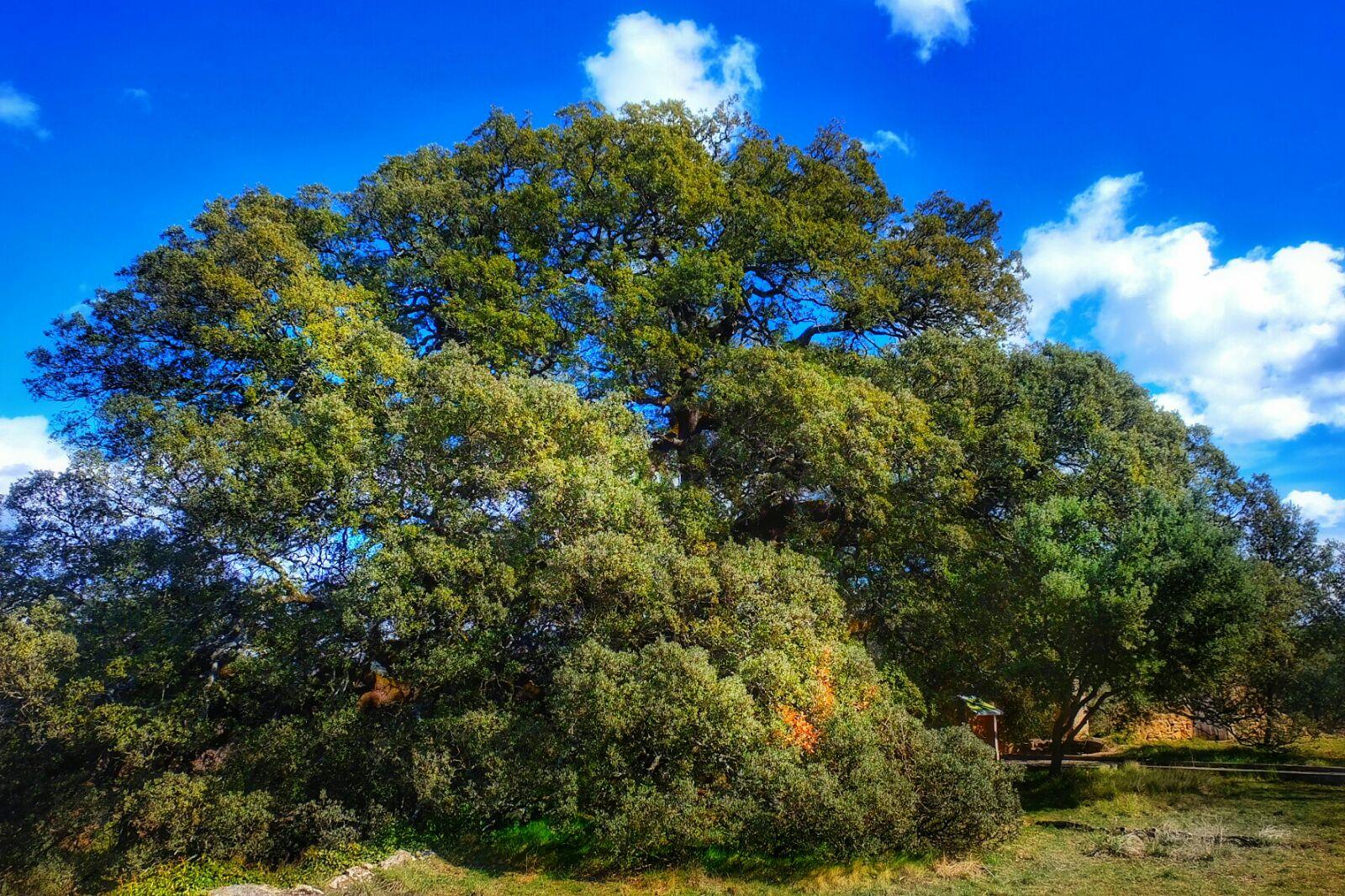La Carrasca de Lecina 🌳 candidata Al Mejor Árbol del Año 🥇 ¿Nos ayudas a que gane?