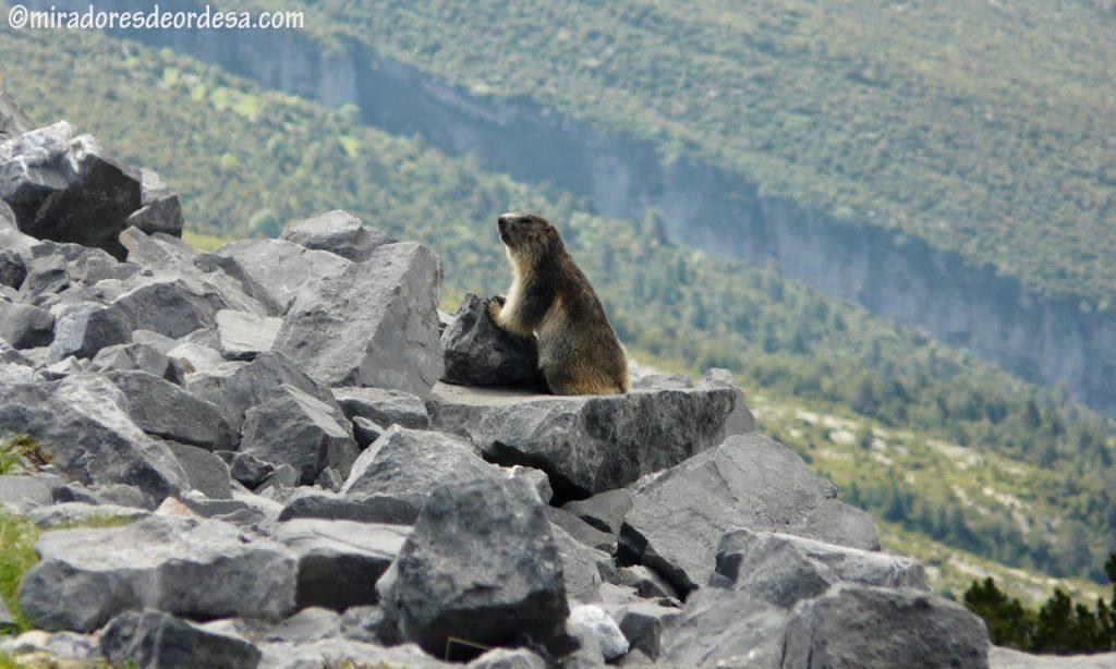 Marmota Pirenaica DE Ordesa Miradores