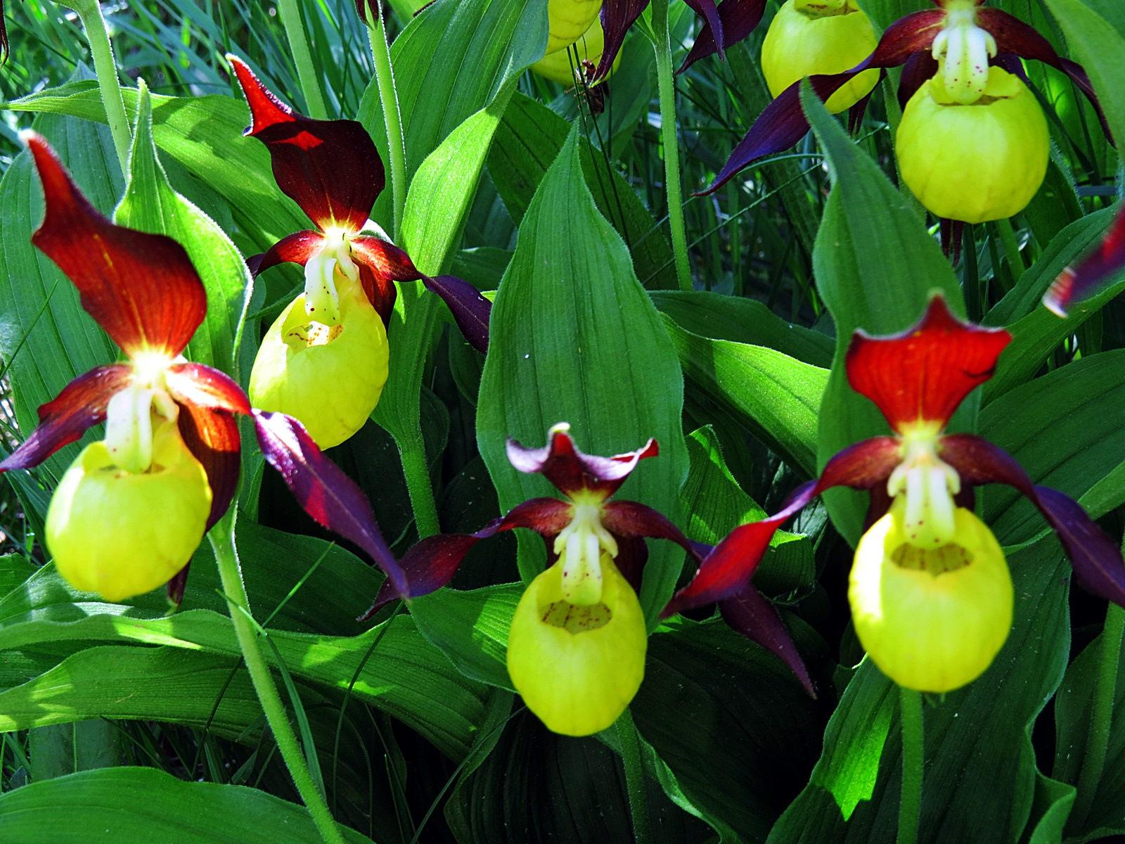 🌼🌷 Ruta de las Orquídeas en Huesca 👣
